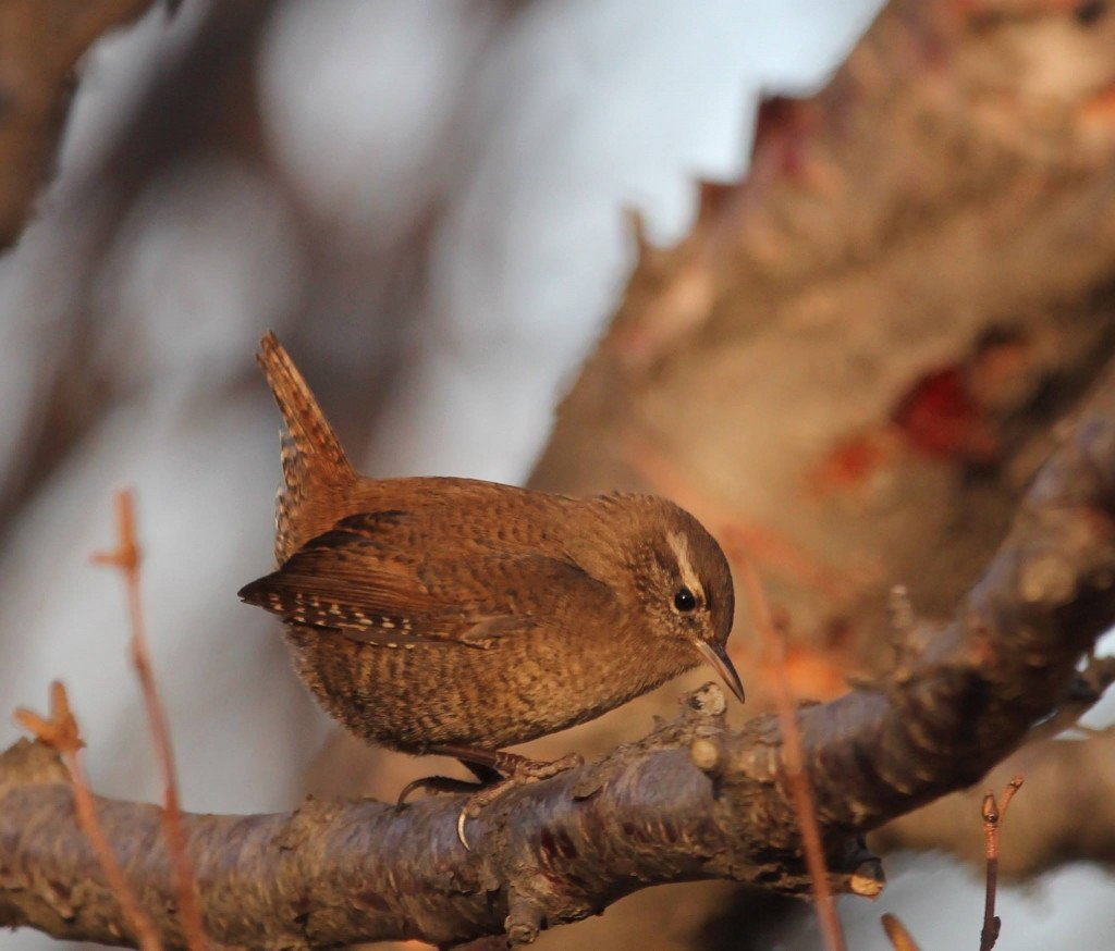 Native forest birds such as the Eurasian wren will become more common as the forests grow. Photo: Pétur Halldórsson